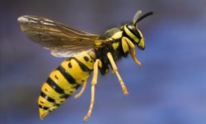 garden-wasp
