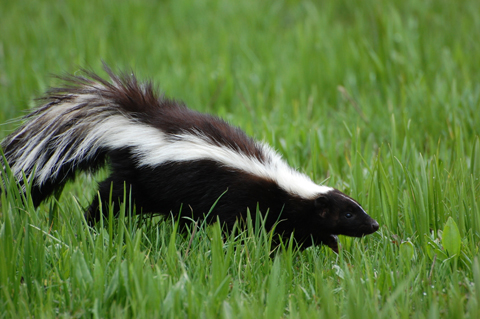 skunk-on-grass